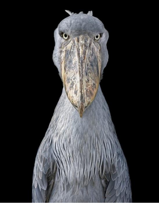 Королевская цапля. Автор: Tim Flach.