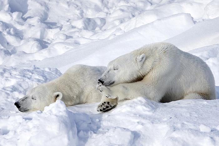 В Антарктиде нет белых медведей.