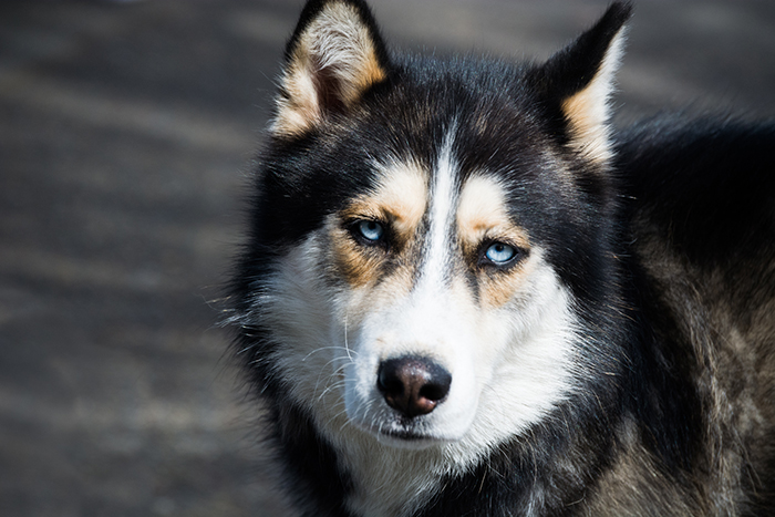 Ездовые собаки официально были запрещены в Антарктиде в 1994 году.
