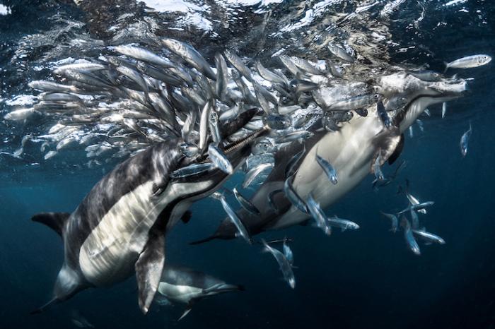 Дельфинья охота. Автор: Greg Lecoeur.