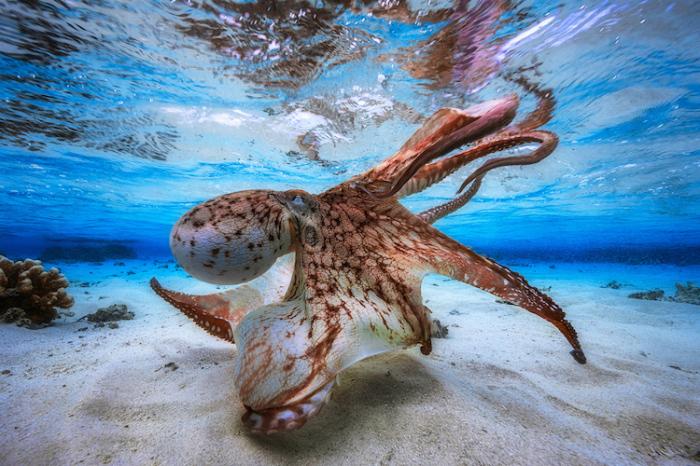 Танцы осьминога. Автор: Gabriel Barathieu.