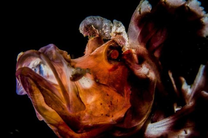 Ринопиас — рыба семейства скорпеновых. Автор: Susannah H. Snowden-Smith.