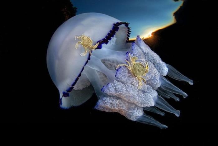 Крабы катаются на медузе. Автор: Csaba Tokolyi.