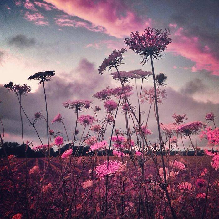 Поле розовых цветов. Автор фото: Мелисса Винсент (Melissa Vincent).