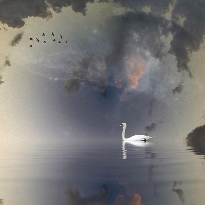 Белый лебедь. Автор фото: Мелисса Винсент (Melissa Vincent).