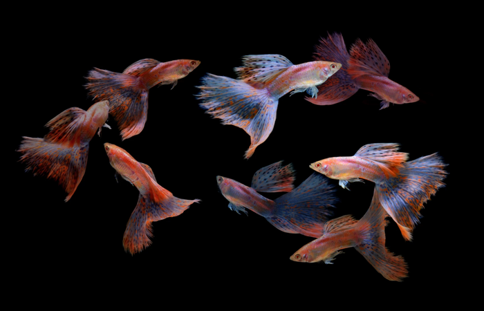 Танцующие рыбки. Автор: Visarute Angkatavanich.