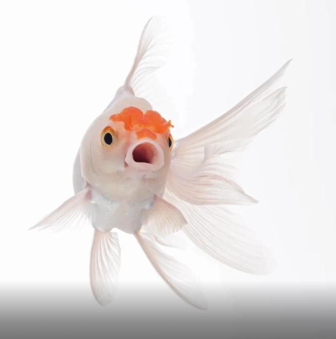 Белая золотая рыбка. Автор: Visarute Angkatavanich.
