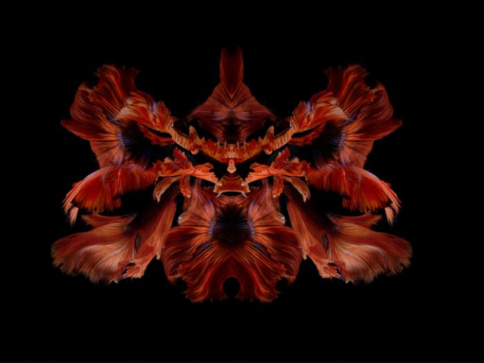 Огненная орхидея. Автор: Visarute Angkatavanich.