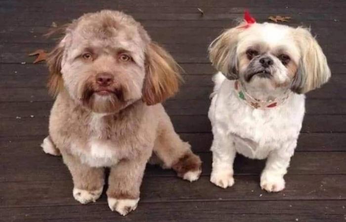 Когда видишь Йоги рядом с другой собакой, то ощущение того, что у него поистине человеческое «лицо» только усиливается.