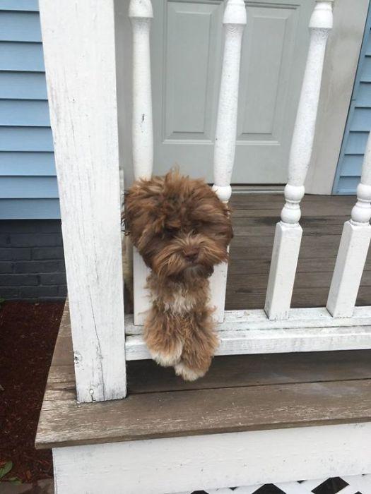 На этом фото Йоги до стрижки и выглядит как обычная собака.