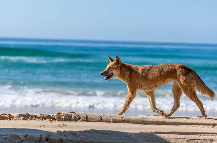Собаки Динго на побережье Австралии. \ Фото: pinterest.com.