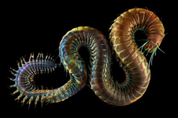 Род многощетинковых червей из семейства нереид. Автор: Александр Семенов.