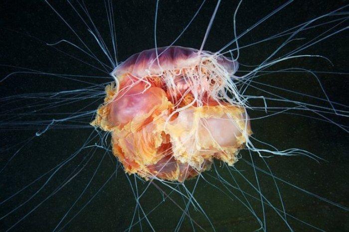 Медуза львиная грива.