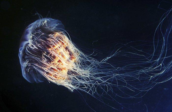 Волосистая цианея. Автор: Александр Семенов.
