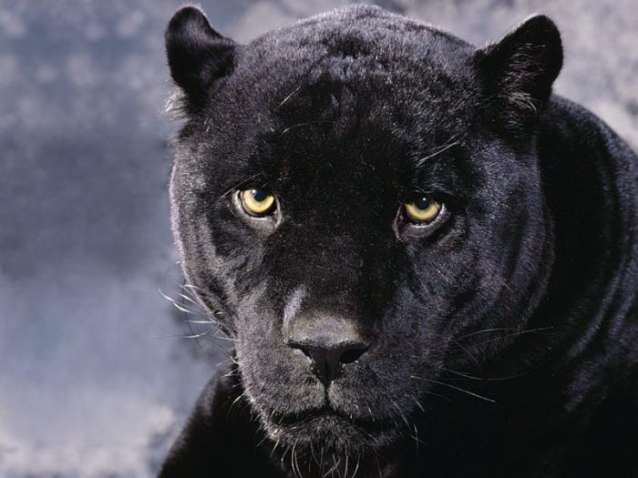Черная пантера.