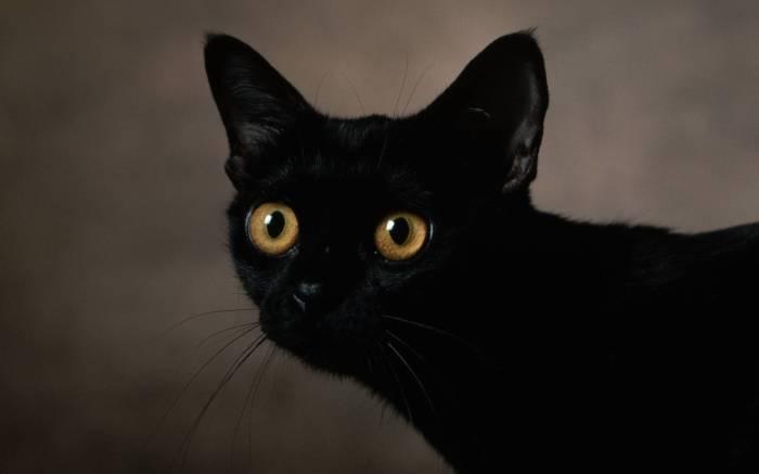 Просто черный кот.