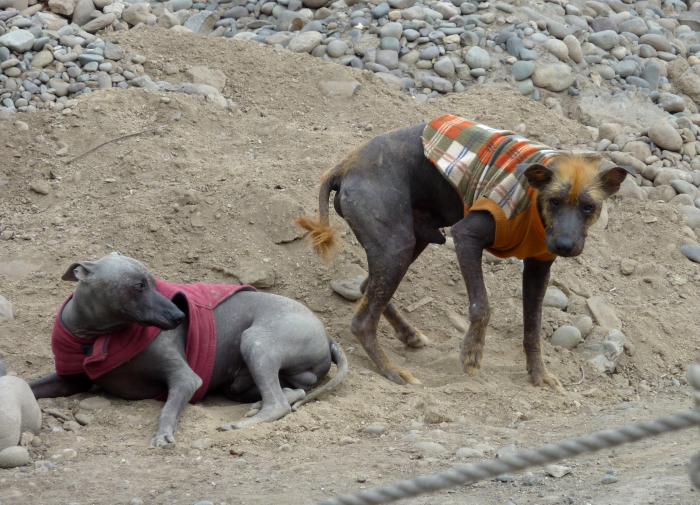 Голые перуанские собаки. \ Фото: ru.wikipedia.org.