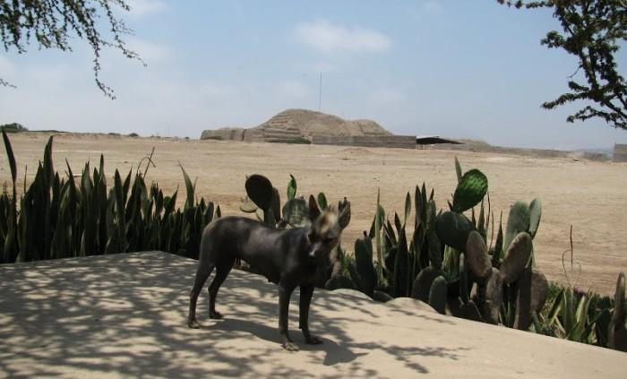 Во времена Колумба этих собак считали исчадием Ада. \ Фото: google.com.