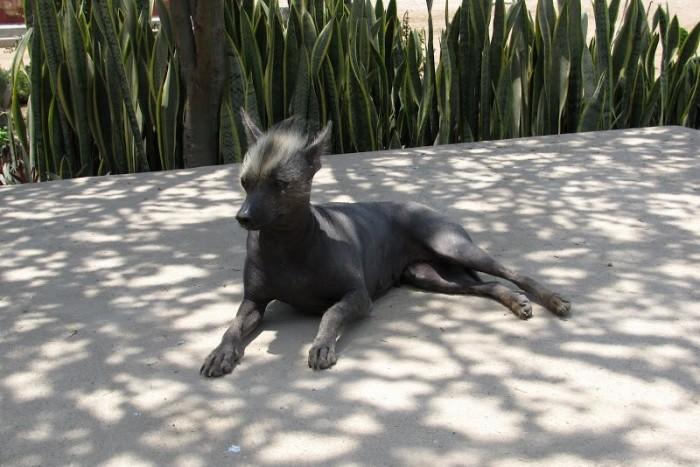 Несмотря на свой внешний вид, это собака невероятно добра, умна и дружелюбна. \ Фото: google.ru.