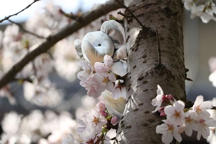 Цветущая сакура в Японии.
