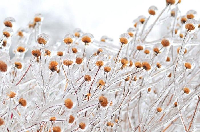 Сухоцветы во льду.