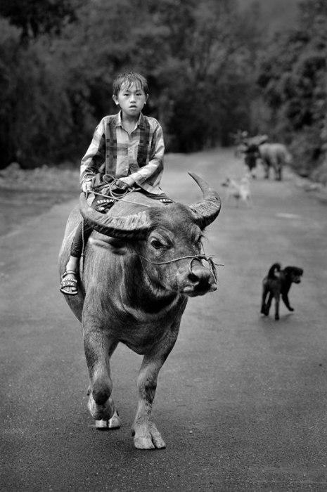 Мальчик верхом на быке. Автор: Ly Hoang Long.