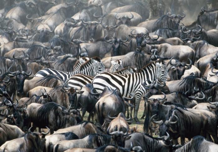 Великая миграция животных.