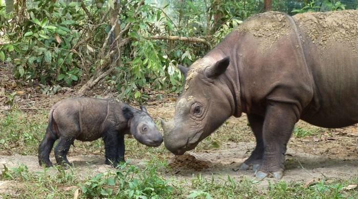 Яванский носорог. \ Фото: international.thenewslens.com.