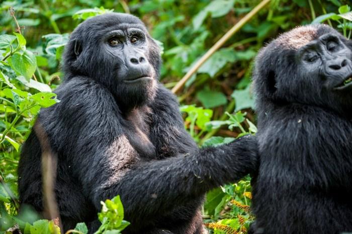 Горная горилла. \ Фото: wanderlust.co.uk.