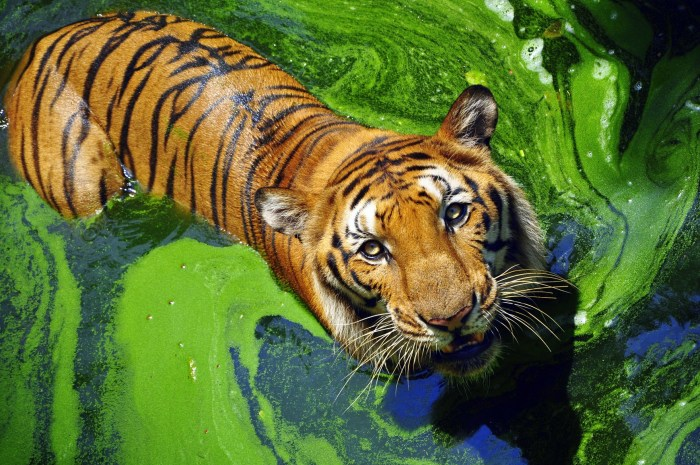 Бенгальские тигры. \ Фото: shutterstock.com.
