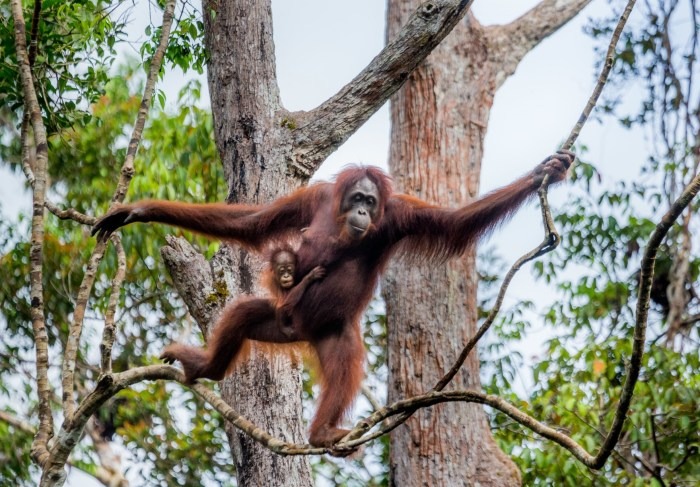 Борнеанский орангутанг. \ Фото: zoo-ekzo.ru.