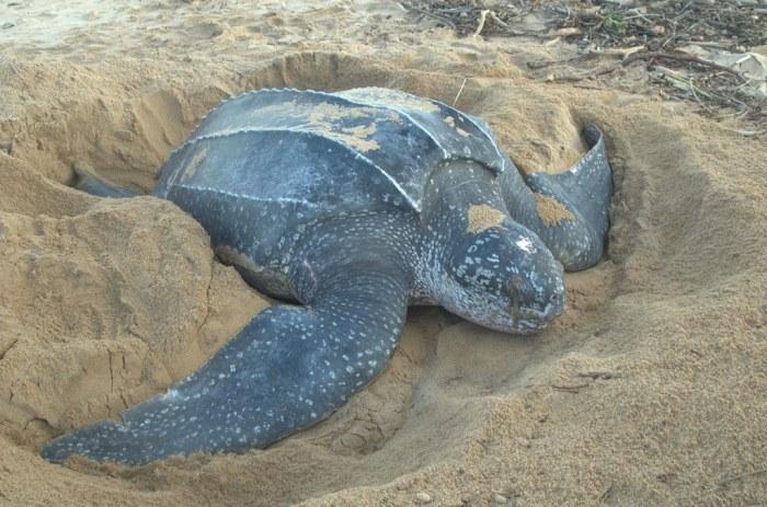Кожистая морская черепаха. \ Фото: zoopicture.ru.