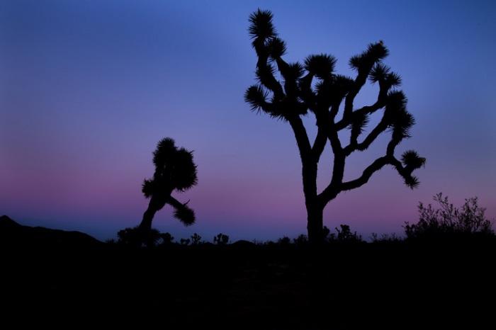 Дерево Джошуа, Калифорния. Автор: Xiang & Jie.
