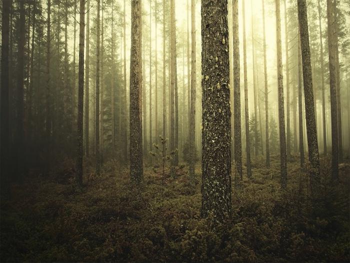 Лес в Финляндии.