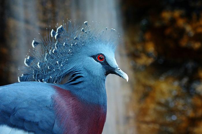 Виктория - коронован голубь.
