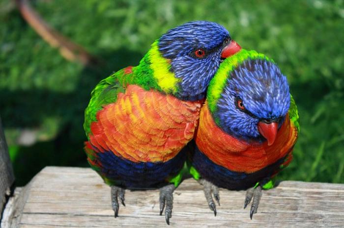 Многоцветный лорикет.
