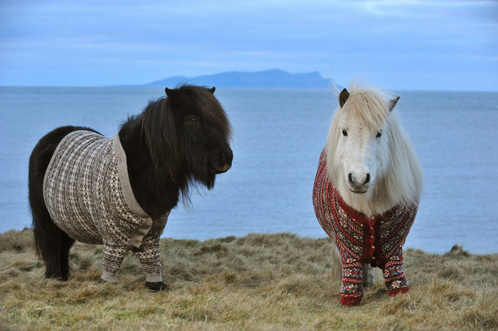 Шотландские пони в свитерах.
