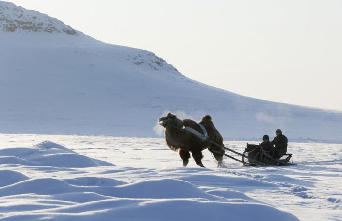На верблюде по снегу.