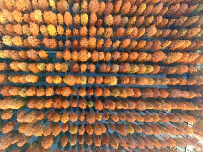 Эти яркие кроны деревьев расположены в парке водно-болотных угодий в Китае.