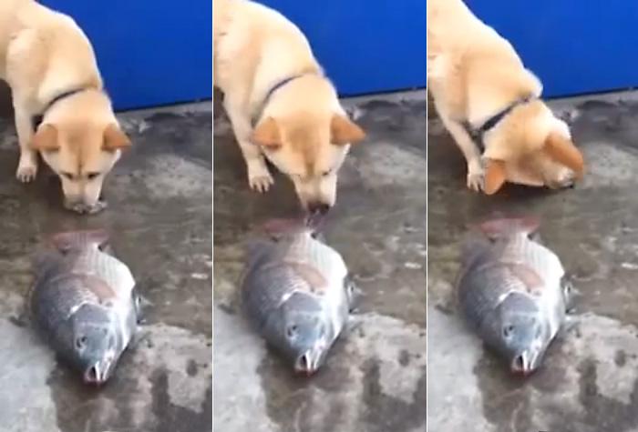 Собака пытатся спасти рыбу
