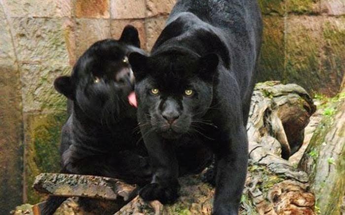 Три черных леопарда