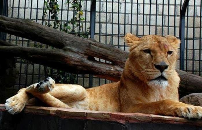 Восемь львов