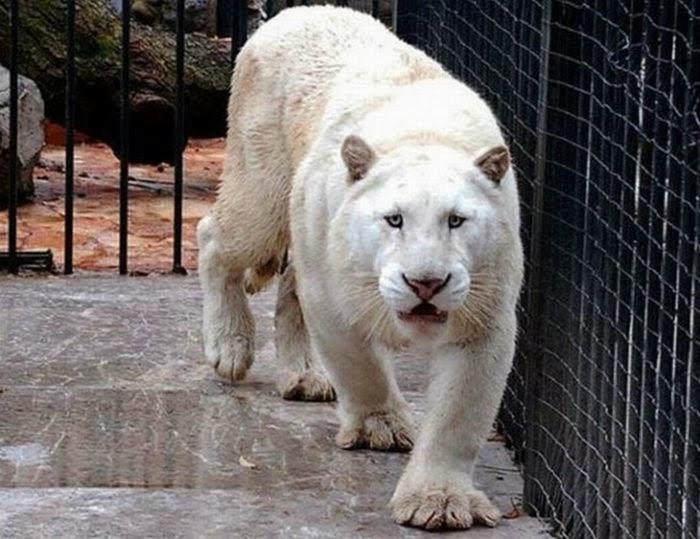 Один редчайший белый лев