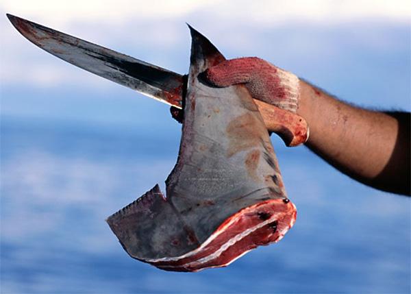 Как насчёт супчика из плавника акулы?