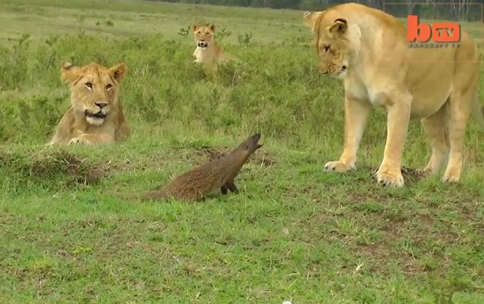 Невероятное видео: храбрый мангуст справился с четырьмя львами