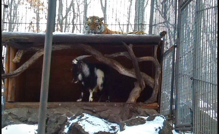 Козел, присланный на съедение, совсем не боится тигра.
