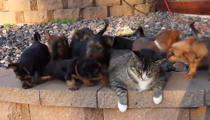 9 щенков атаковали кота.