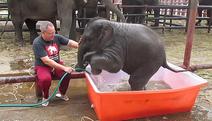 Слоненок забавно купается в импровизированном бассейне.