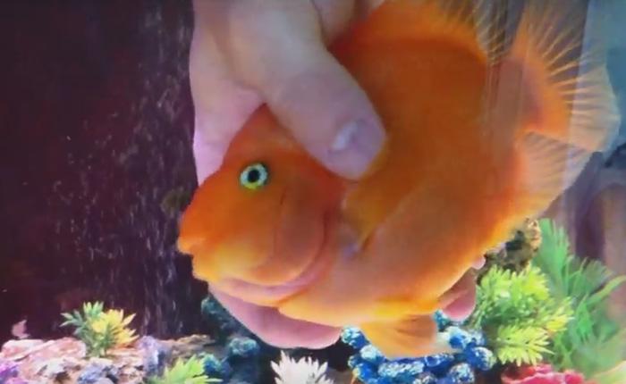 Аквариумная рыбка, которая очень любит гладиться.