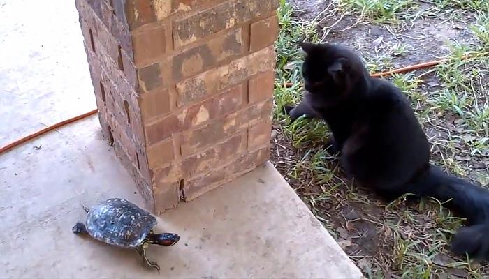 Забавная игра в салочки между котом и черепахой.